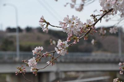 0408桜01.jpg