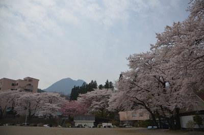 曇り空の桜01.jpg