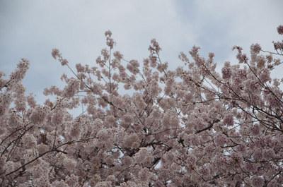 曇り空の桜02.jpg