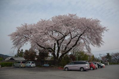 曇り空の桜03.jpg
