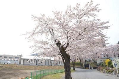 曇り空の桜04.jpg