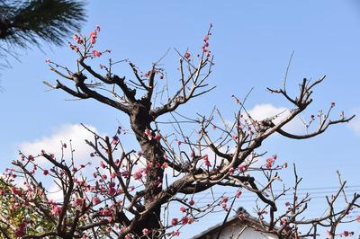 梅の花01.jpg