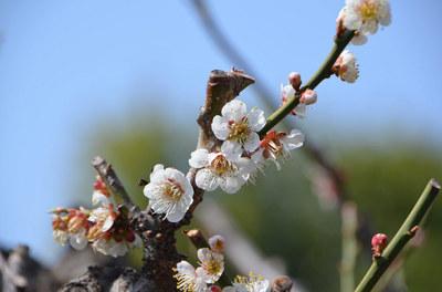 apricot02.jpg