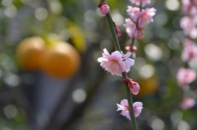 apricot03.jpg